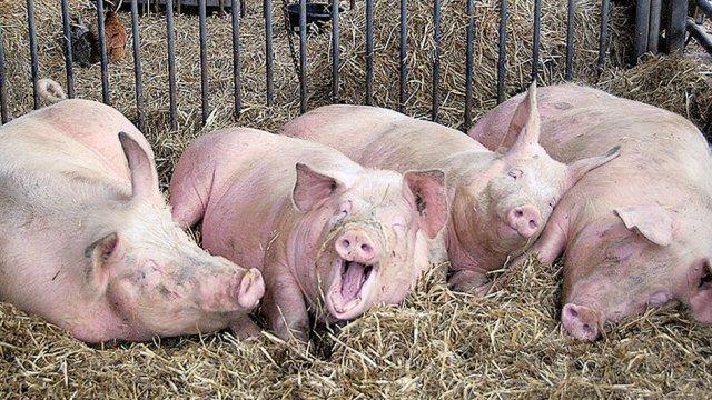 Počinje interventan otkup svinja?