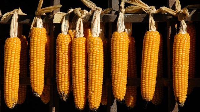 Robne rezerve plaćaju za kukuruz 17, 50 din.