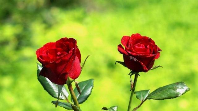 Po izvozu ruža Srbija 8. u svetu