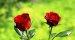 Izvoz srpskog cveća u 2020. dostigao 4,2 miliona eura