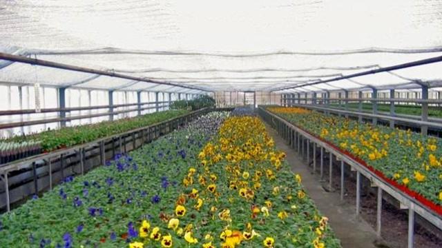 U Opovu se sve više ljudi bavi cvećarstvom