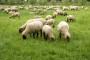 """U Centru za ovčarstvo licencirana """"carska"""" rasa"""