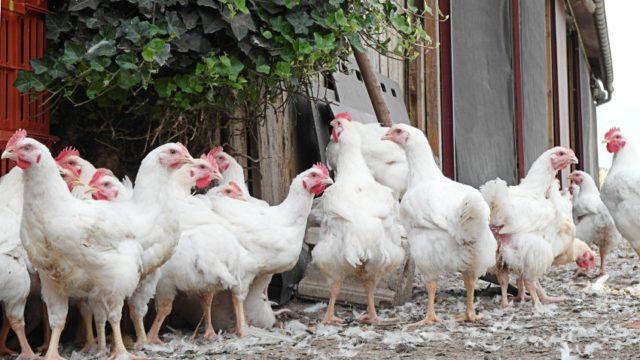 Zaražena piletina u prodaji širom Nemačke