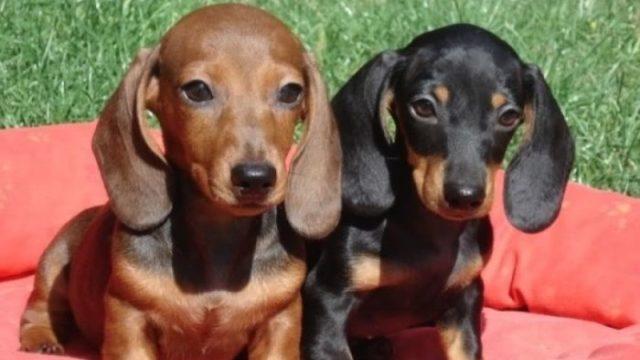 U Nemačkoj otvoren muzej pasa jazavičara