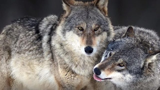 Nemačka kreće u hajku na vukove